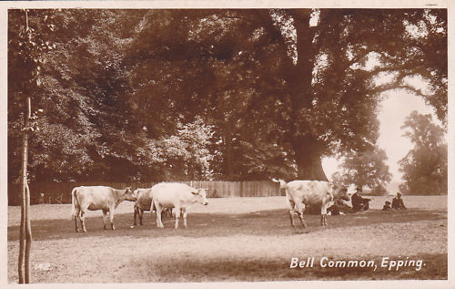 013 BELL COMMON WITH CATTLE